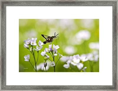 Hummingbird Clearwing Moth Flying Away Framed Print by Christina Rollo