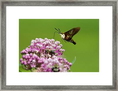 Hummingbird Clearwing Moth In Flight Framed Print by Christina Rollo