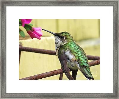 Hummingbird Details 4 Framed Print by Judy Via-Wolff