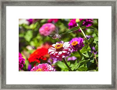 Hummingbird Flight Framed Print by Garry Gay