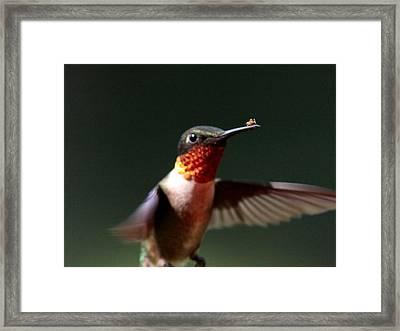 Hummingbird - Hitching A Ride - Ruby-throated Hummingbird Framed Print by Travis Truelove