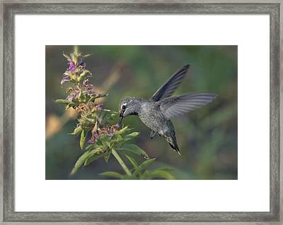 Hummingbird In The Morning Light Framed Print by Saija  Lehtonen