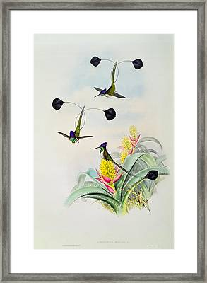 Hummingbird Framed Print by John Gould