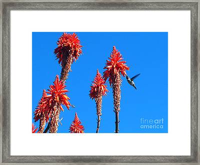 Hummingbird Framed Print by Kelly Holm