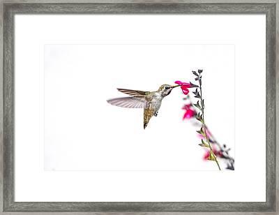 Hummingbird Framed Print by Micah Morton