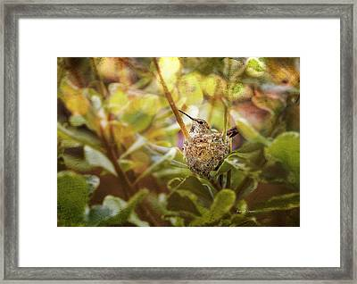 Hummingbird Mom In Nest Framed Print by Angela A Stanton