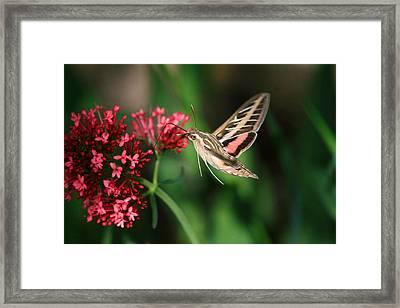 Hummingbird Moth Framed Print by Donna Kennedy