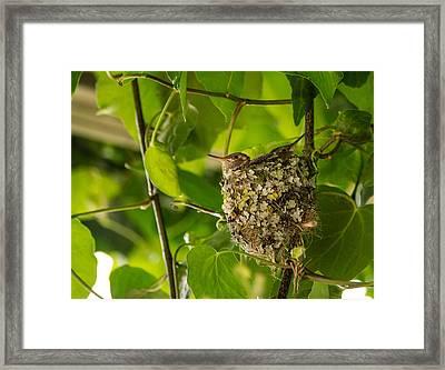 Hummingbird Nest With Chicks Framed Print by Jordan Blackstone