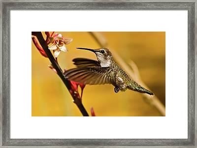 Hummingbird Framed Print by Robert Bales