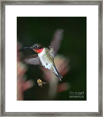 Hummingbird Ruby Throat And Bee Vie Aloe Framed Print by Wayne Nielsen