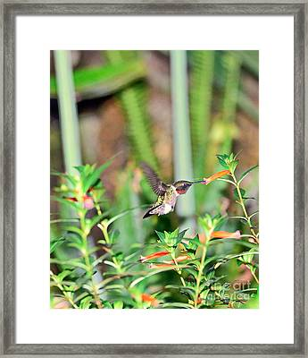 Hummingbird Ruby Throat At Cigar Orange Framed Print by Wayne Nielsen