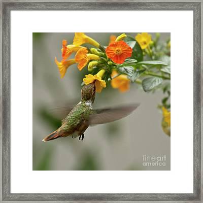 Hummingbird Sips Nectar Framed Print by Heiko Koehrer-Wagner