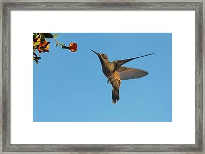 Hummingbird, Venezuela (large Format Framed Print by Keren Su