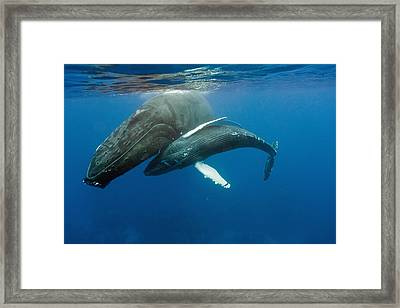 Humpback Whale And Calf Framed Print by Andrew J. Martinez