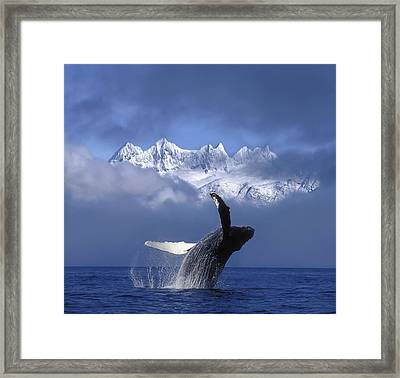 Humpback Whale Breaches In Clearing Fog Framed Print by John Hyde