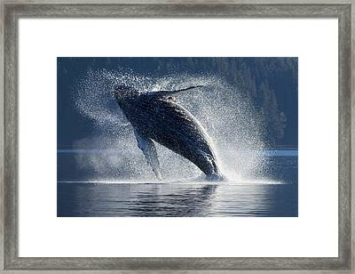 Humpback Whale Breaching In The Waters Framed Print by John Hyde
