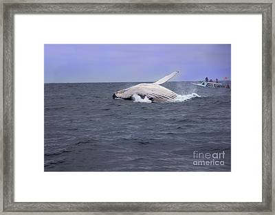 Humpback Whale Breaching Near Puerto Lopez - Ecuador II Framed Print by Al Bourassa