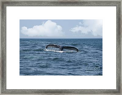 Humpback Whale Fin Framed Print by Juli Scalzi
