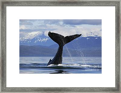 Humpback Whale Lifting Massive Tail Flukes High Surrounded By Snowcapped Mountains In Alaska Framed Print by Brandon Cole
