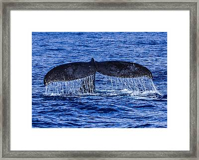Humpback Whale Tail Fluke During Deep Dive Framed Print by Puget  Exposure