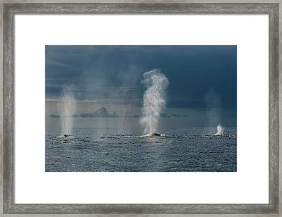 Humpback Whales Blowing Framed Print by Christopher Swann