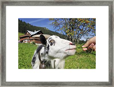 Hungry Goat Framed Print by Matthias Hauser