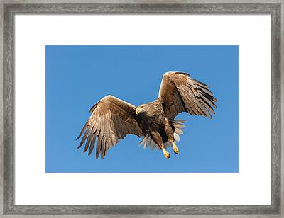 Hunting Sea Eagle Framed Print by Andy Astbury