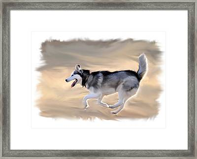 Siberian Husky At Play Framed Print by Kevin Pate