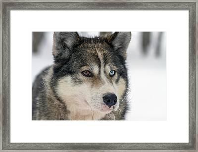 Husky Dog Breading Centre Framed Print by Photostock-israel