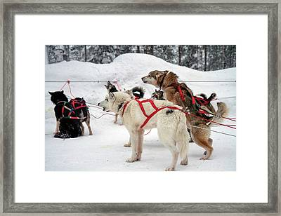 Husky Dogs Pull A Sledge Framed Print by Photostock-israel