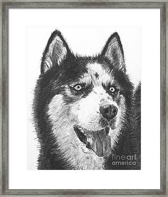 Husky Drawing Framed Print by Kate Sumners