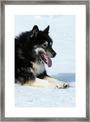 Husky Sled Dog Leader Framed Print by Louise Murray