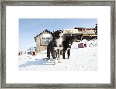 Husky Sled Dog Puppies Framed Print by Science Photo Library