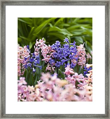 Hyacinth Garden Framed Print by Frank Tschakert