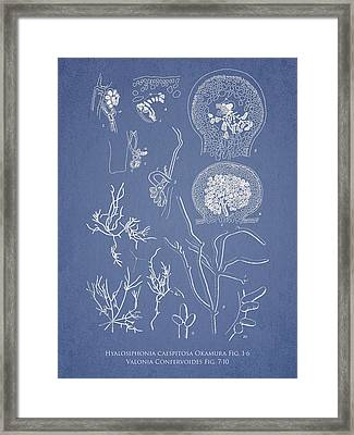 Hyalosiphonia Caespitosa Okamura Valonia Confervoides Framed Print by Aged Pixel