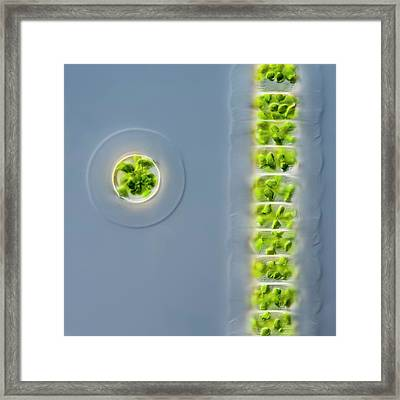 Hyalotheca Dissilens Green Alga Framed Print by Gerd Guenther