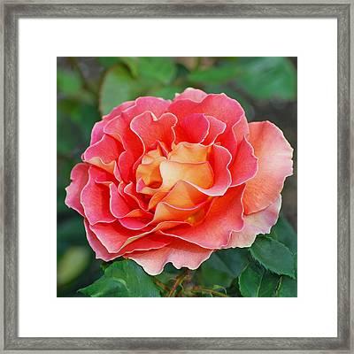 Hybrid Tea Rose  Framed Print by Lisa Phillips