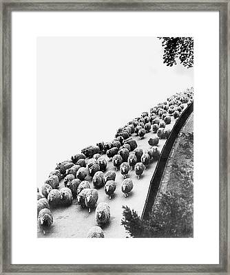 Hyde Park Sheep Flock Framed Print by Underwood Archives