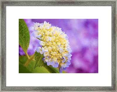 Hydrangea On Purple Framed Print by Parker Cunningham