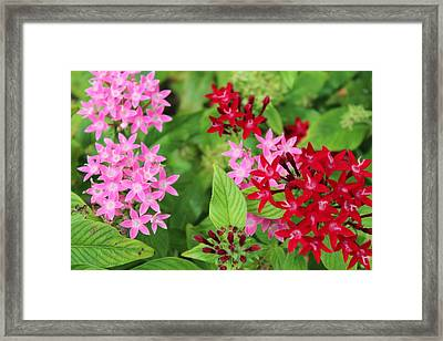 Hydrangeas In Stages Framed Print by Vicki Kennedy