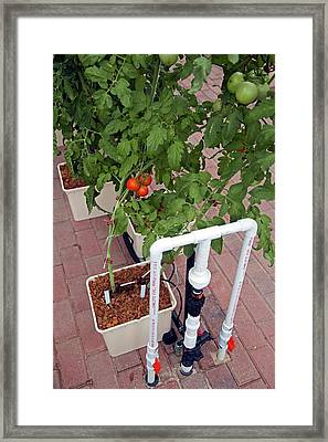 Hydroponic Tomatoes At A Hospital Farm Framed Print by Jim West