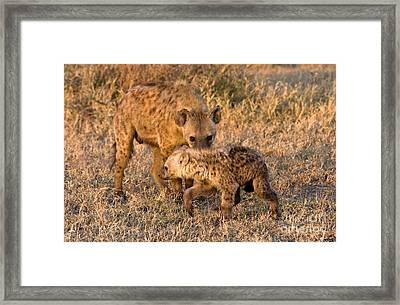 Hyena Mother And Cub Framed Print by Chris Scroggins