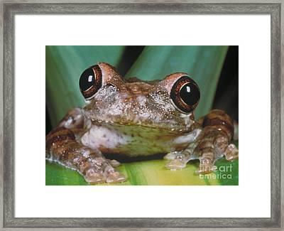 Hyla Vasta Tree Frog Framed Print by Jeff Lepore