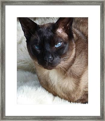 I Am A Tonkinese Framed Print by Margaret Saheed
