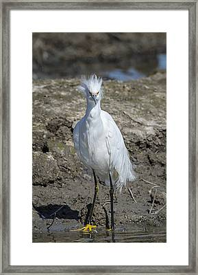 Snowy Egret With Attitude Framed Print by Loree Johnson
