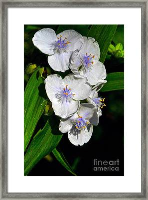 I Love Spiderworts  Framed Print by Byron Varvarigos