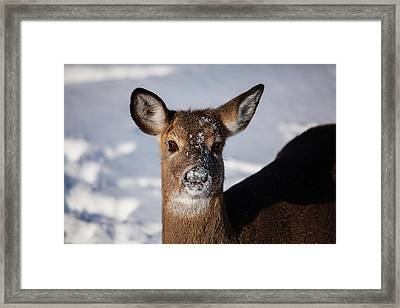 I Was Not Playing In The Snow Framed Print by Karol Livote