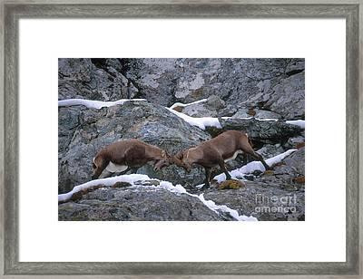 Ibexes Sparring Framed Print by Art Wolfe