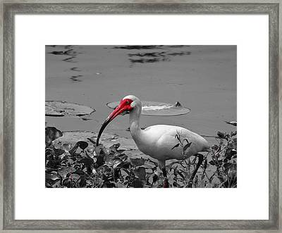 Ibis In Brazos Bend State Park Framed Print by Dan Sproul