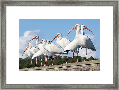 Ibis Framed Print by Paulette Thomas